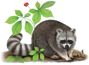 raccoon and ginseng